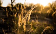 Soft (--Conrad-N--) Tags: grass dof dry sony sunset a7rm2 atardecer soft minimalism