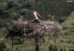 Ciconia ciconia (Mauro Hilário) Tags: bird wildlife portugal alentejo animal nest white stork ciconia roost nature