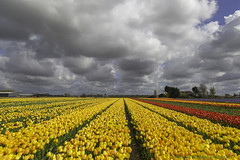 A riot of colour under a cloudy sky (dorrisd/ unable to comment) Tags: voorhout zuidholland nederland nl tulips landscape sky cloudy tulipan tulipe tulipa tulp tulipano mienekeandewegvanrijn dorrisd southholland netherlands spring lente horticulture fields flat countryside sightseeing photography touristattraction canonef24105mmf4lisusm yellow ƒ160 dutch nederlands bulbs bulbfields flatland red purple hyacinths trade wolkenlucht tulpentijd bloemen plants plant rows path view vista panoramic
