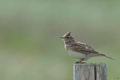 Alouette des champs (Kap Kaval) Tags: oiseau alouette liberte
