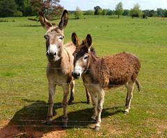 Easter Donkeys (Neal3K) Tags: morgancounty georgia ga farmland rural donkeys