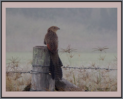 Perched on a post in early morning fog. (The early bird....) (agphoto100) Tags: bird fog olympus sz16 cooyar fence feathers wire grass dew morning
