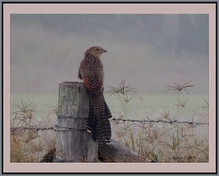Perched on a post in early morning fog. (The early bird....)
