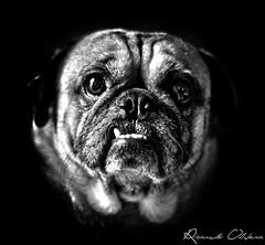 Rocky the Pug (ricardo.olivera17) Tags: pug dogs dog pugs animals pets pet bw blancoynegro blackandwhite black blackwhite