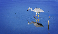 creatures of the mangroves - white-faced heron (Fat Burns ☮) Tags: whitefacedheron egrettanovaehollandiae waterbird wader bird australianbird fauna australianfauna nikond800 wynnumnorthreserve