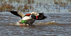 Shelducks (acerman17) Tags: nature wildlife shelducks birds ducks fight fighting splash