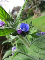 9708 Green Alkanet - Pentaglottis sempervirens (Andy - Busyyyyyyyyy) Tags: 20170417 aaa aconite bbb blue border eee evergreen fff flower ggg greenalkanet greenalkenetpentaglottissempervirens longborder pentaglottissempervirens ppp wildflower www