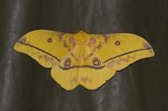 (Nudaurelia dione) (macronyx) Tags: africa nature insect wildlife moth insects ghana insekt insekter nudaureliadione nudaurelia