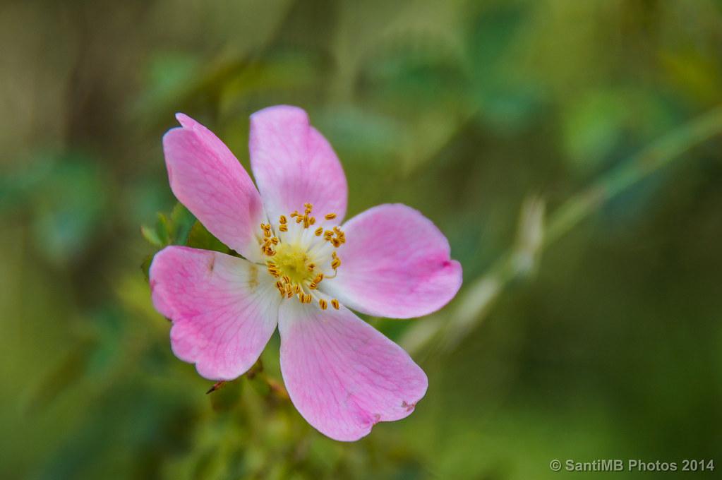 Una simple rosa