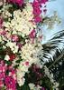 Thursday flowers (gillybooze) Tags: pet flower caribbean ©allrightsreserved