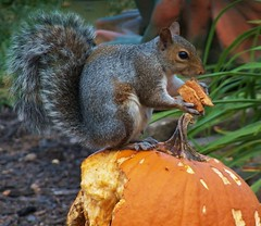 pumpkin is yummy (MissyPenny) Tags: autumn orange pumpkin squirrel pumpkincarving easterngreysquirrel southeasternpa