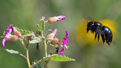 Southern carpenter bee (jim_mcculloch) Tags: flowers bees dsc6836b
