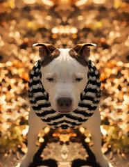 Jour 33 / l'autoMne Mfiant (EMEM Manuel Martinez) Tags: dog chien canada project 50mm montral f14 sony symmetry days pitbull qubec 365 alpha lilou longueuil a77 symtrie 365daysproject symmetrycal alpha77 sonyalpha77