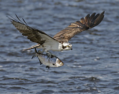 Fly Away From Here {Explored!  Thank you!} (Mawrter) Tags: two fish nature canon outdoors newjersey interesting fishing outdoor flight nj explore catching catch shad interest onthemove osprey twoanimals explored specanimal ospreywithfish gizzardshad