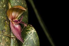 Pleurothallis sp. (PenduSeb - 2670m) Tags: santander orquideas pleurothallis acronia labelleza