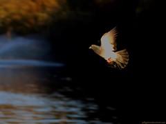 Pigeon in Autumn. (Jeff G Photography - jeffgphoto@outlook.com) Tags: autumn fall pigeon pigeons flight stjamesspark columbalivia feralpigeon