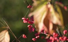 The last flowers of autumn (begumidast) Tags: flowers autumn flower color nature canon eos schweiz switzerland outdoor herbst natur blumen clear traveling svizzera soe ef ef24105mmf4lisusm eflens tmblr canoneos5dmarkiii begumidast 5dmarkiii musictomyeyeslevel1