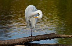 Navel-gazing (Slow Turning) Tags: bird water pond preening perch wading southernontario ardeaalba