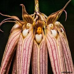 627) Atlanta GA, Atlanta Botanical Garden - Fuqua Orchid Center - orchid - UID [511] (Houckster) Tags: usa orchid macro closeup ga georgia flickr midtown bloom atlantabotanicalgarden photostream atlantaga 511 2014 fultoncounty fuquaorchidcenter uid 30309 houckster sonyilca77m2 tamron609020