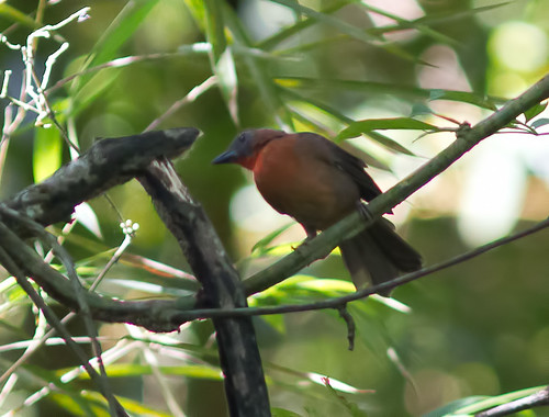 Red-throated Ant-Tanager 140909 Habia fuscicauda