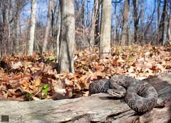 Eastern Massasauga Rattlesnake (Nick Scobel) Tags: snake michigan pit endangered viper eastern rattlesnake venomous rattler sistrurus massasauga catenatus