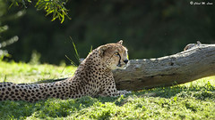 Cheetah. (Chad M. Lane) Tags: cats animals zoo nikon sandiego 300mm dolphins cheetah nikkor sandiegozoo mammals bigcats zoos sdz d700