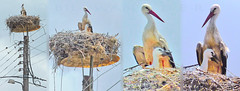 Macedonia, Vergina, stork with chick in a power pole nest, Greece #acedonia (gentle wolf) Tags: sun history greek ancient republic fifa great culture eu greece un macedonia ohrid alexander orthodox philip uefa stork nato stip nests matka gostivar skopje philippi macedon macedonian mavrovo prilep fiba bitola gevgelija struga veles strumica heraclea debar kumanovo tetovo negotino lyncestis malovite greekmacedonianculture kavadarsi 207017330 macedoniablog