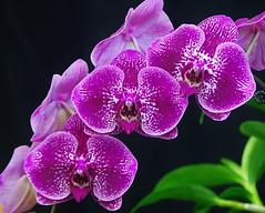Phalaenopsis Hybrid (Susan Roehl) Tags: show orchid ngc moth phalaenopsis species epiphyte humidity inflorescence southwestflorida monopodial hybridcross coth5 florida2014