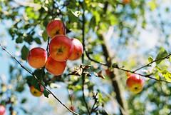 the apples (Guy Fawkes Jr.) Tags: apple leaves analog asahi bokeh naturallight negative scanned pentaxmesuper classiccamera c41 fujisuperia100 135film smcpentaxm50mmf17 manualfocuslenses morethan10yearsexpired