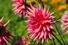 DSC_7641 (sir.yoga) Tags: flowers bratsk easternsiberia