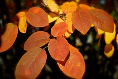 autumn orange tree fall leaves leaf serviceberry