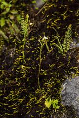 Ponthieva sp. (PenduSeb - 2670m) Tags: santander orquideas ponthieva labelleza
