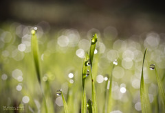 Gespa ( alfanhu) Tags: morning macro grass closeup countryside dew campo rosada cesped roco hierba gespa herba