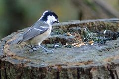 Juvenile Coal Tit - Periparus ater (Hatto26) Tags: wood bird tit norfolk feather reserve stump coal fen juvenile rspb strumpshaw ater periparus