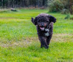 My happy spanish water dog (tods_photo) Tags: dog black water agua perro spanish playful spanishwaterdog perrodeaguaespañol