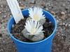 DSCF0403 (BobTravels) Tags: plant stone bob lithops lithop messem bobwitney