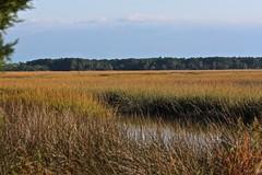 Mid-Autumn Marsh Grass (Gabriel FW Koch) Tags: autumn nature canon eos gold telephoto marsh naturelover marshgrass autumngold