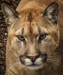 Cougar (Chris Parker2012) Tags: portrait nature cat bigcat cougar mountainlion