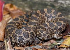 Eastern Massasauga Rattlesnake (Nick Scobel) Tags: michigan pit endangered fangs viper eastern rattlesnake venomous rattler sistrurus massasauga massasagua catenatus