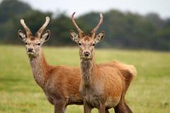 2014 Deer 22 (Dick Knight) Tags: suffolk reddeer minsmere