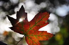 spark (christiaan_25) Tags: autumn light red orange sunlight green fall nature colors season leaf maple bokeh 7 explore flare veins shape spark lobes oct112014