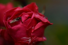 You're only here for a short visit. Don't hurry, don't worry. And be sure to smell the flowers along the way  (~Ranveig Marie~) Tags: pictures red summer flower macro rose bug garden insect fly drops photos pics images photographs flue makro bilder bauty ranveigmarienesse ranveignesse