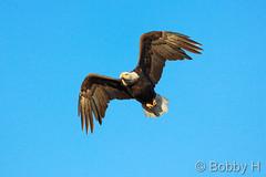 October 11, 2014 - A bald eagle performs a flyover in Adams County. (Bobby H)