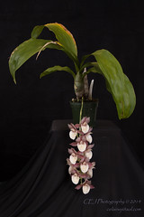 2014-4696_AOSJud_20141010_IMG_0270_CEJ_W.jpg (celainej) Tags: white plant orchid green burgundy ivory spot american society matte aos
