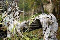 Wurzel (UlvargHS) Tags: ruine burg