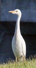 _C5A3704.jpg (Lake Worth) Tags: bird nature birds animal animals canon wings wildlife feathers sigma waterbird wetlands everglades waterbirds southflorida 2xextender