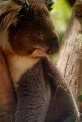 Koala bear (suganth007) Tags: bear tree pine australia victoria kangaroo koala aussie extinct eucaliptus