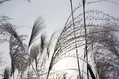 1508 ([키키] kikistory.com) Tags: autumn light fall korea seoul kiki southkorea 韓國 한국 대한민국 republicofkorea 하늘공원 大韓民国 flamegrass 키키 kikistory