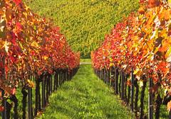 Autumn Vineyard Germany (Habub3) Tags: autumn canon germany deutschland vineyard herbst powershot g12 2014 kernen remstal habub3