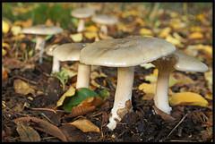 Clumber Park Fungi 1 (MTB1975) Tags: park church mushroom spire fungi fungus nationaltrust nottinghamshire clumber clumberpark thenationaltrust